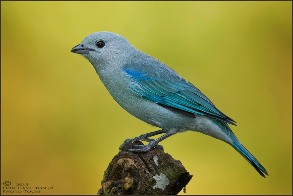 Blue-Grey-Tanager_O7T1702