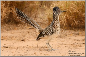 Greater-Roadrunner-Geococcyx-californianus-ForumSize_O7T9809