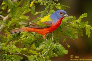 Male-Painted-Bunting-ForumSizeO7T0423